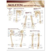 Lippincott Williams & Wilkins Atlas of Anatomy Skeletal System Chart: Upper   and Lower Limbs, Upper and Lower Limbs