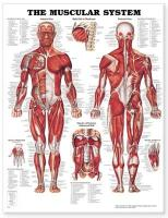Muscular System Anatomical Chart illustrated edition